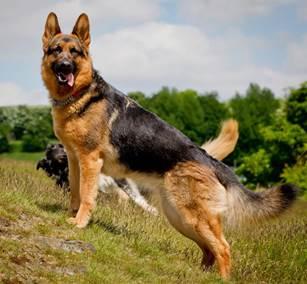 GSR-UK Dog